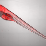 Zebrafish acquired with 10X magnification