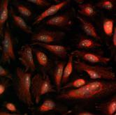 High throughput imaging Mitichondria Quantification